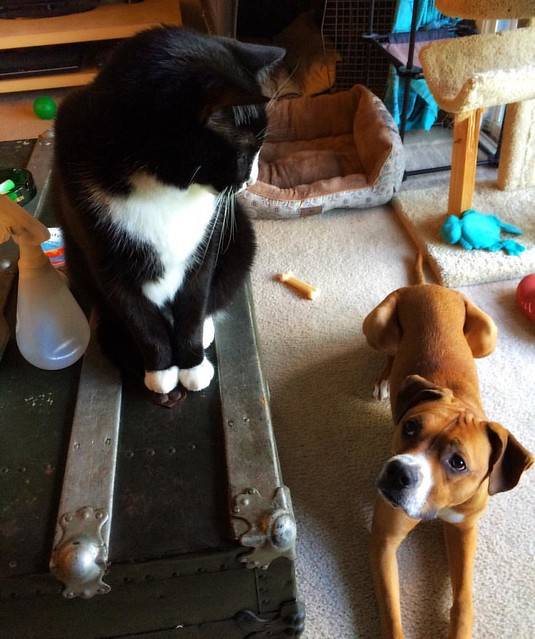 Piglet and Thomas #catsanddogs #dogsandcats #tuxedocat #cats #dogs #boxerdog #frenemies