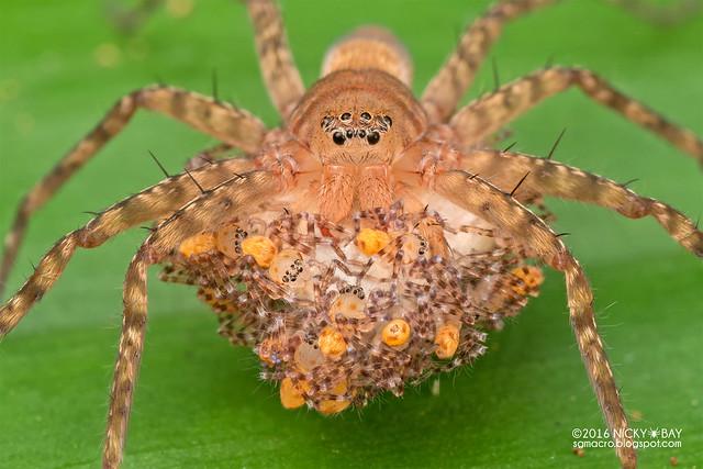 Huntsman spider (Heteropoda sp.) - DSC_0570b