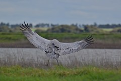 Brolga   ( Some days  better  then others )