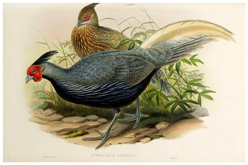 008-Lineated Pheasant-The birds of Asia vol. VII-Gould, J.-Science .Naturalis