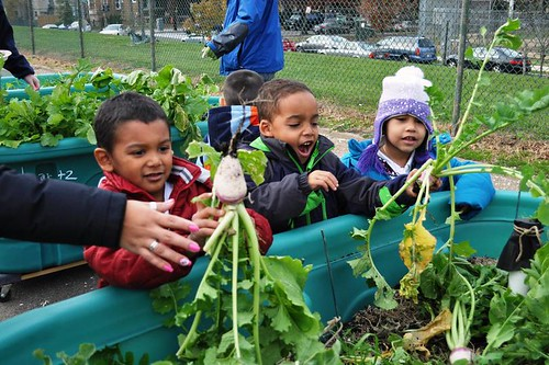 Powell Kids Pulling Beets: Students eagerly pulled out plants and were surprised at what they found! (in this case, turnips)