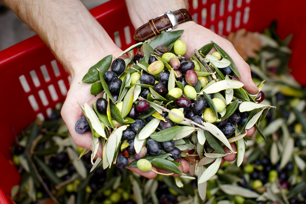 the olives we harvested
