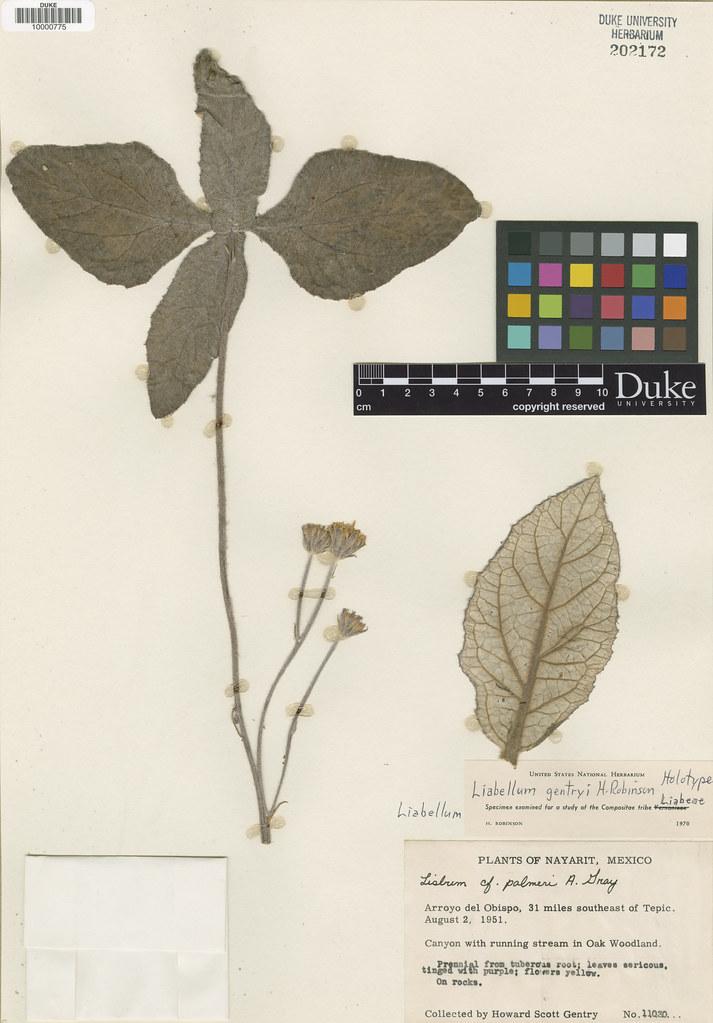 Asteraceae_Liabellum gentryi