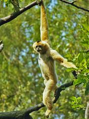 gibbon, animal, rainforest, branch, monkey, mammal, fauna, forest, new world monkey, jungle, wildlife,