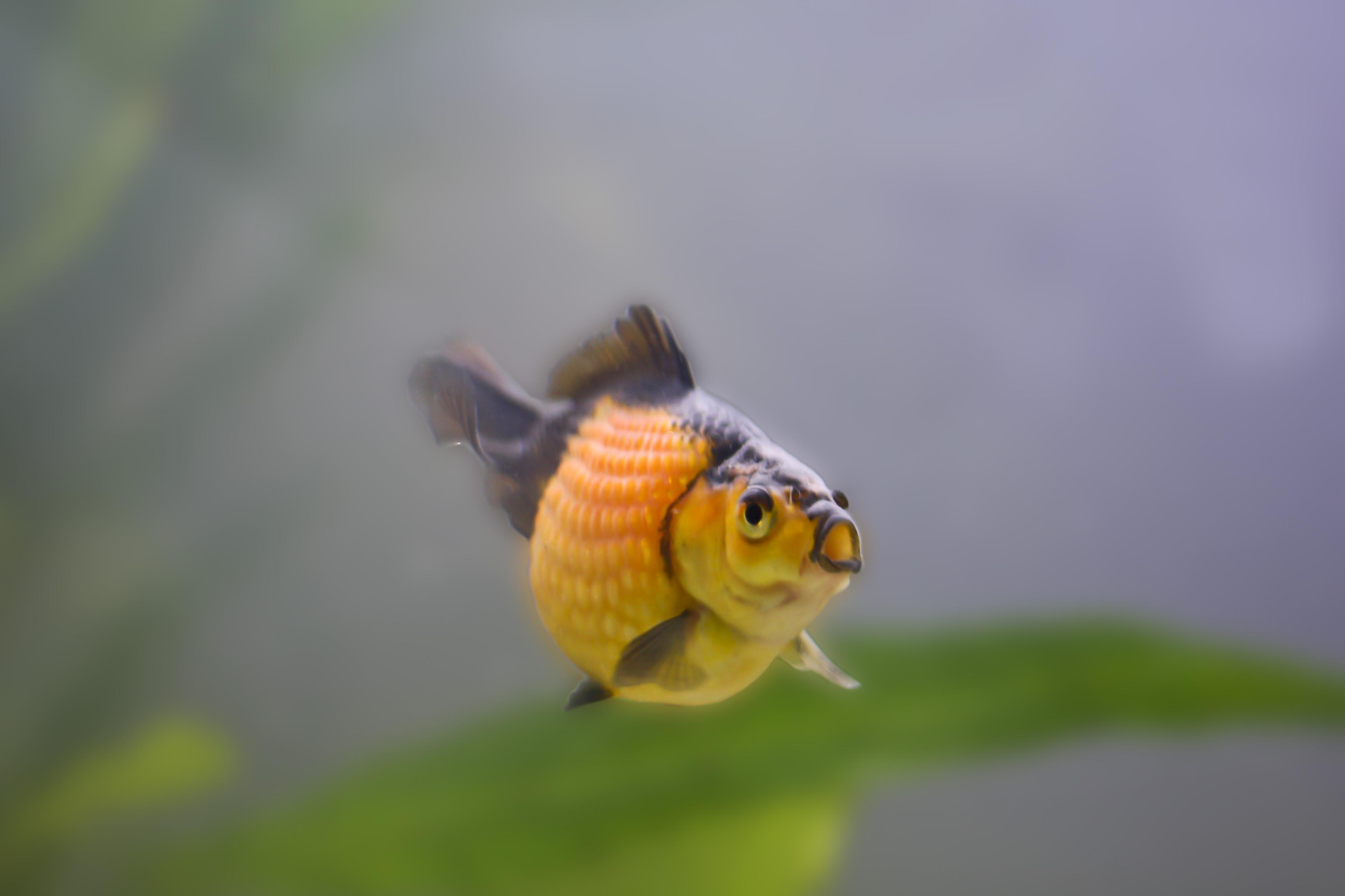 Perlschupper goldfisch pearlscale goldfish aquarium for Aquarium goldfische