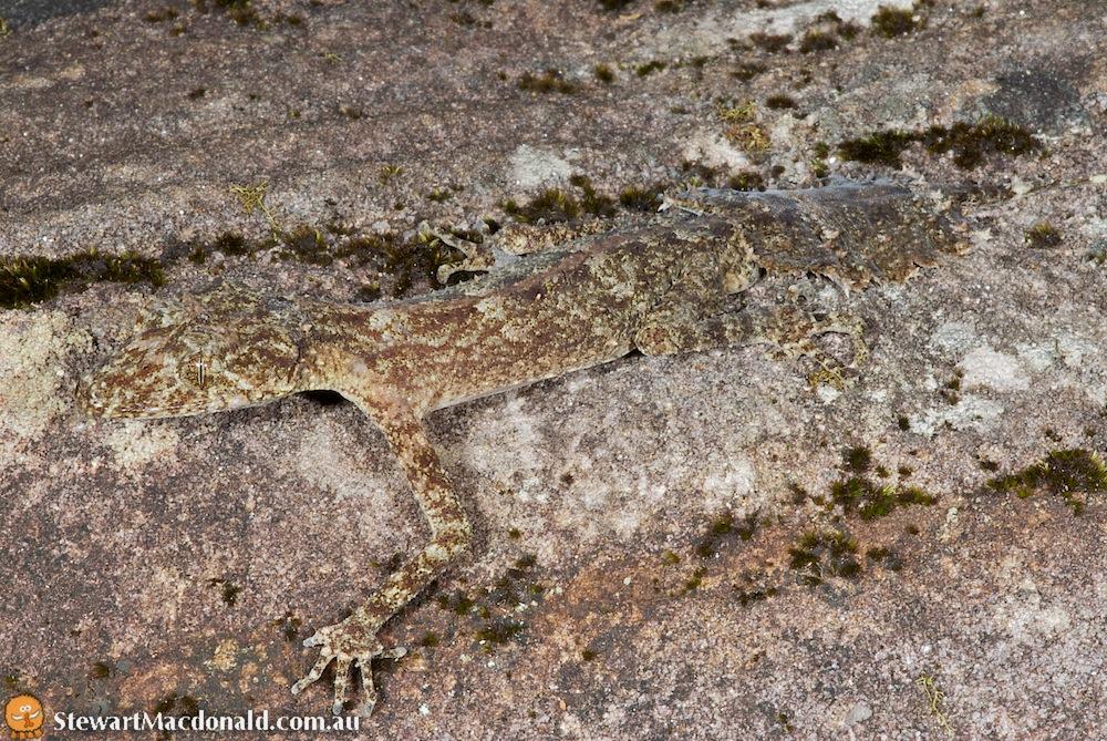 Kate's leaf-tailed gecko (Saltuarius kateae)