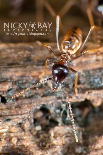Termite (Termitodea) - DSC_1341