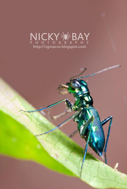 Tiger Beetle (Cicindelinae) - DSC_0695