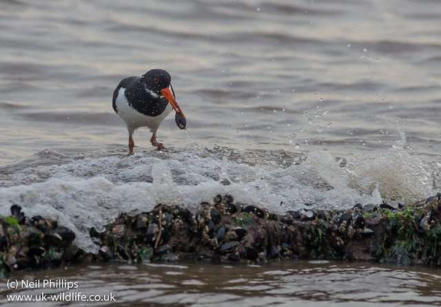 Oystercatcher and mussel