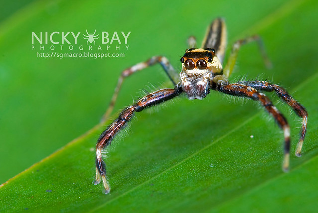 Jumping Spider (Salticidae) - DSC_7628