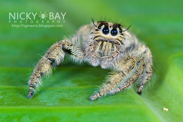 World's Largest Jumping Spider? Perhaps...