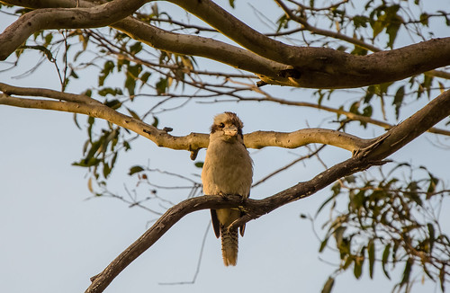 Laughing_Kookaburra