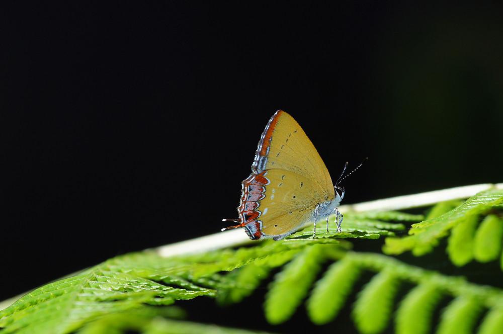 紫日灰蝶(紅邊黃小灰蝶)-01