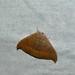 Oak Hook-tip (Watsonalla binaria) ©berniedup