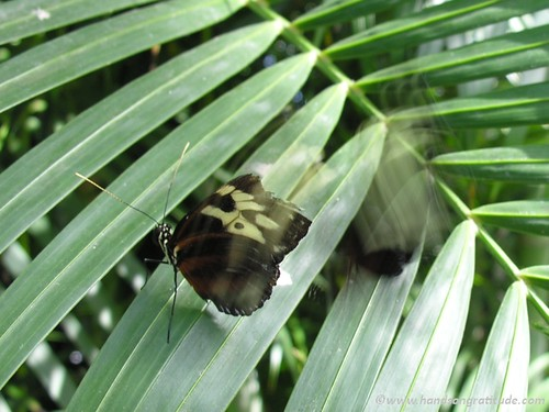 Macro photo of brown yellow and black butterflies in action on green leaves: you can share butterfly energy with someone you love by sending Butterfly Whispers!