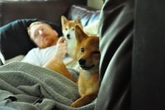puppy(0.0), pembroke welsh corgi(0.0), animal(1.0), dog(1.0), shiba inu(1.0), pet(1.0), mammal(1.0),