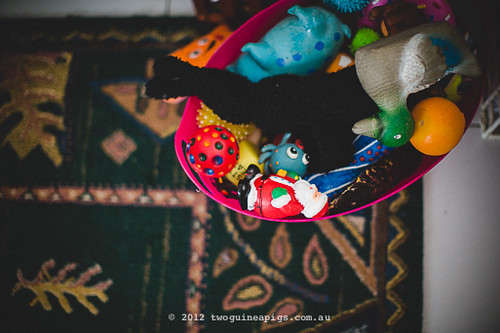 Toys of Mozart the maltese/poodle/other by twoguineapigs pet photography