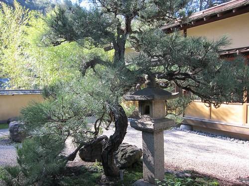 Hakone Japanese Gardens, Saratoga, CA, tree IMG_2296
