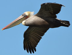 CA Brown Pelican at Seaplane Lagoon, Alameda Point