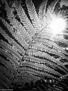 BnW fern | by bizzano