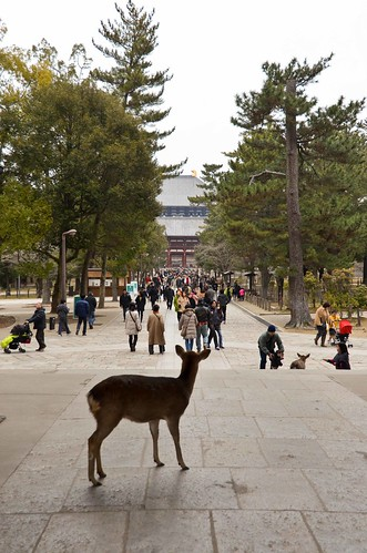 Deer Overlooking Todai-ji Temple