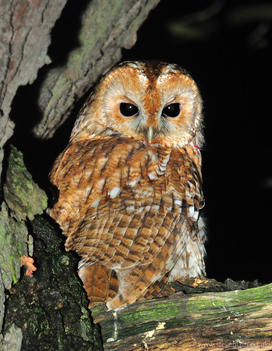 Tawny Owl at Keepers Warren