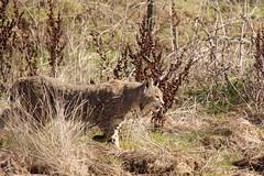 Bobcat in Joseph D Grant County Park