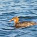 Merganso de poupa - Mergus serrator - Red-breasted merganser