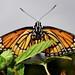 Roan Butterflies