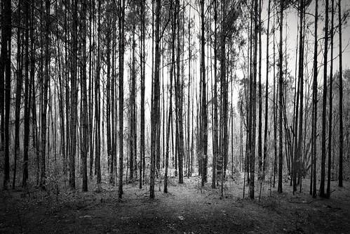 blackandwhite nature forest woods backlit toned pinetrees canonefs1022mmf3545usm mrgreenjeans gaylon gaylonkeeling