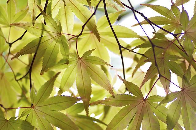 Acer palmatum subsp. matsumurae (Koidz) Ogata