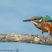 Kingfisher Stretch by MASEY1977