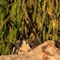 1609 Desert Tortoise at the end of the Pontatoc Ridge Trail
