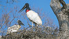 Jabiru with baby on the nest