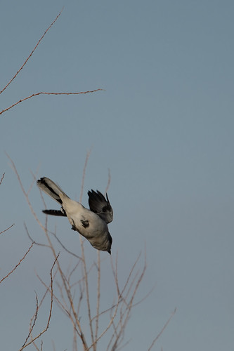 Northern Shrike_49411.jpg