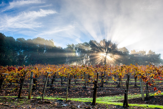 God Rays in the Vineyard