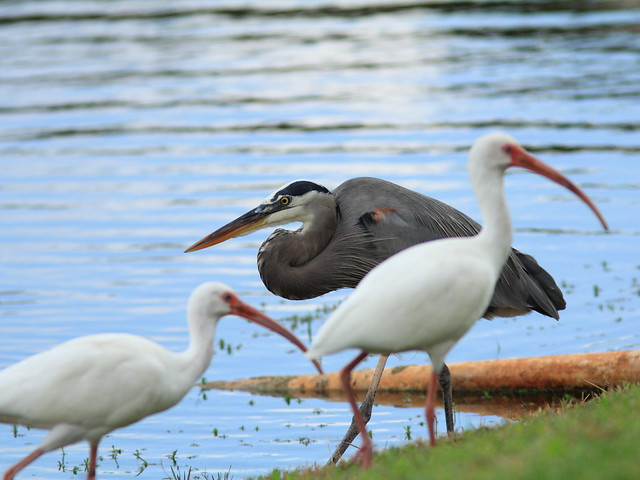 Great Blue Heron with ibises 20121211