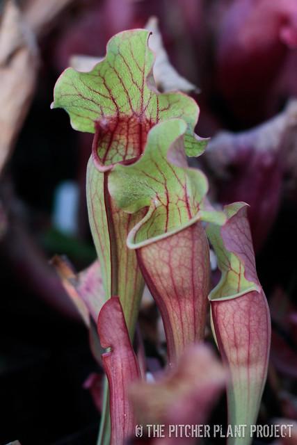 Sarracenia (leucophylla x oreophila) x purpurea ssp. venosa