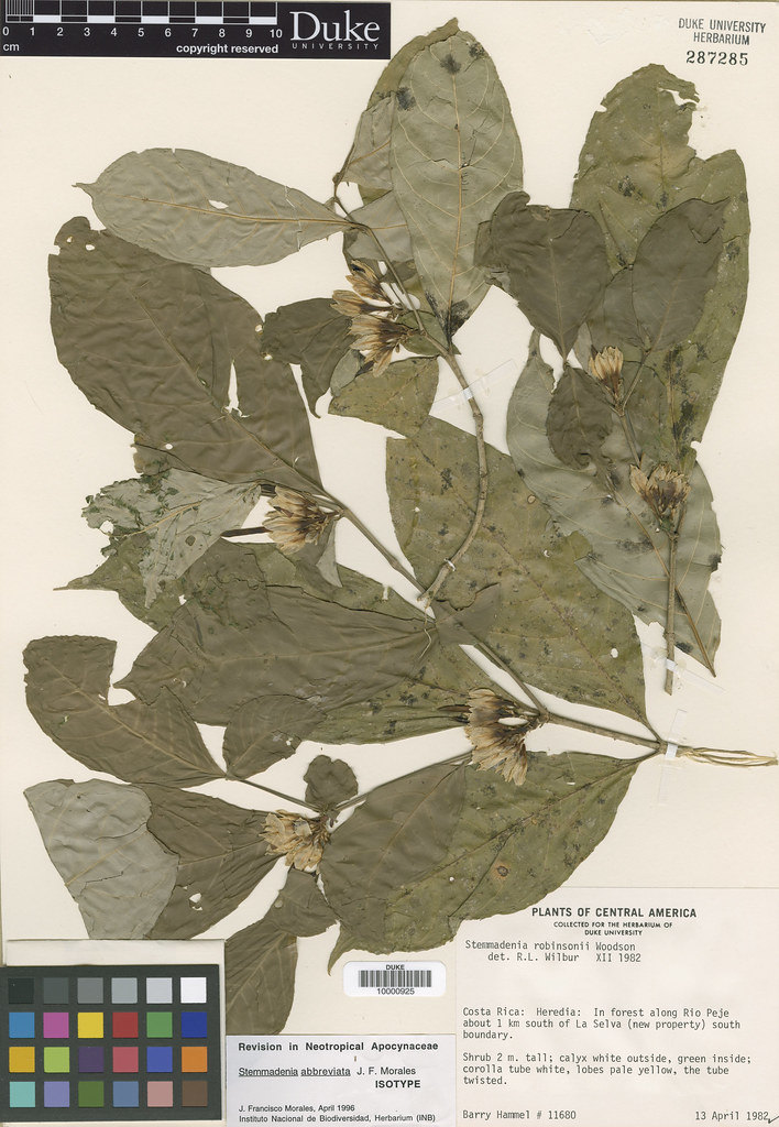 Apocynaceae_Stemmandenia abbreviata