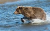 Brown Bear Fishing for Salmon by Glatz Nature Photography