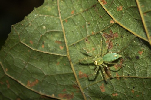 spider, Madagascar
