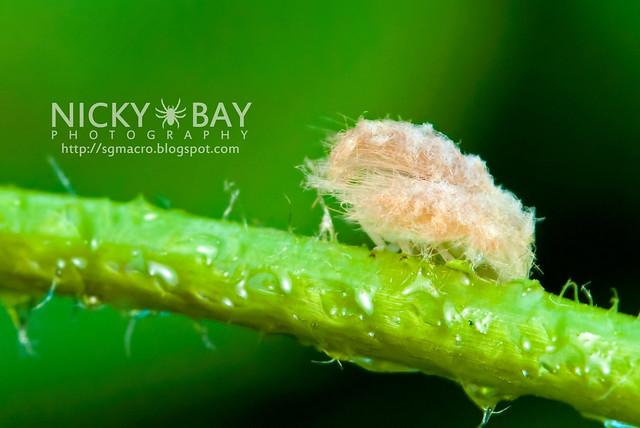 Planthopper (Fulgoromorpha) - DSC_1510