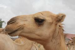 Camel Market (40)