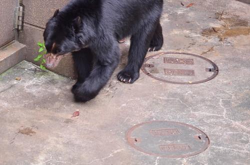 メガネグマ (pectacled Bear)