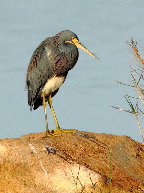 Tricolored Heron 3-20121224