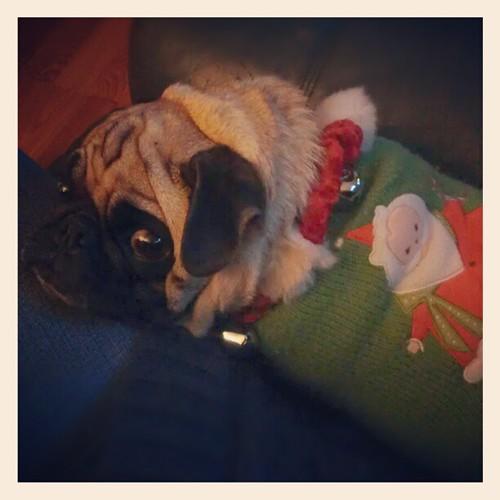 Leah is ready for Christmas! #christmas #dog #dogstagram #dogsofinstagram #pug #pugstagram #pugsofinstagram #jinglepug #christmaspug