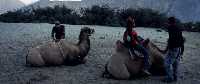 nubra valley bactrian camel ride