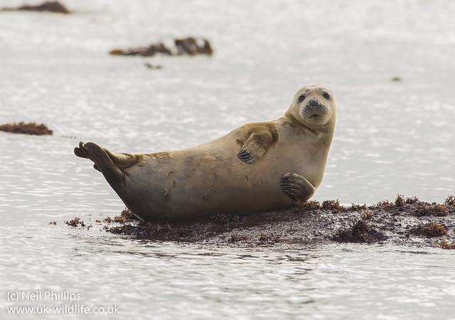 grey seal 2