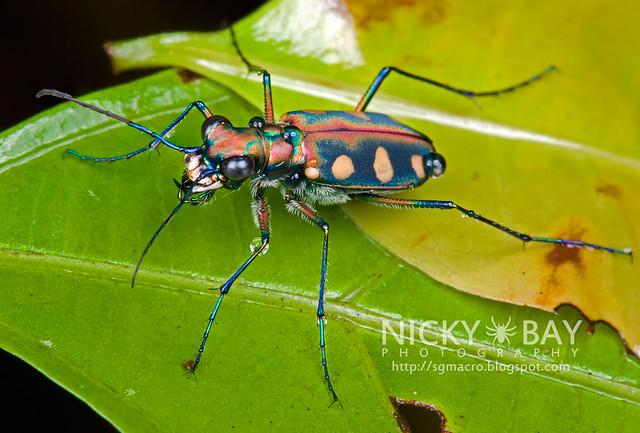 Tiger Beetle (Cicindelinae) - DSC_9244