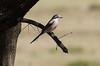 Masked Shrike by Wild Chroma